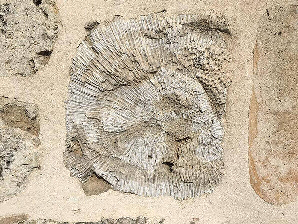 A close-up of a coral fossil.