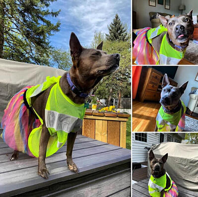 A brown dog wearing a a pink yellow and blue tutu, and a yellow safety vest.